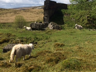 Sheep grazing next to remains of silica brickworks in Penwyllt