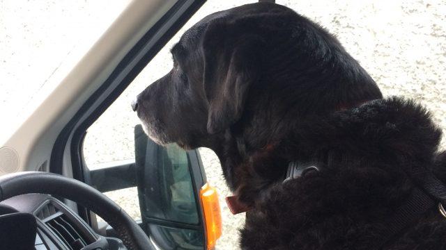 Max the black labrador sitting in the campervan